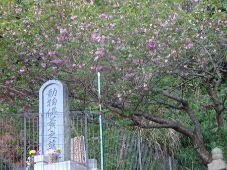 動物供養塔と八重桜.JPG